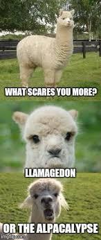 Alpaca Meme - alpaca bad pun memes imgflip