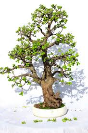 238 best table top gardens images on pinterest bonsai trees