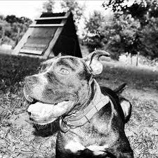 american pitbull terrier traits truth u0026 history of the american pit bull terrier home facebook
