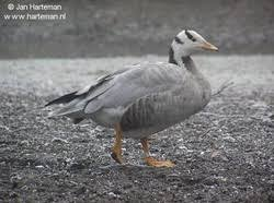 ornamental domestic and ornamental goose club of ireland