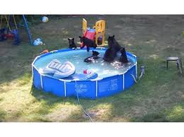 Pool In Backyard by Watch Mama Bear And Cubs Go Swimming In Backyard Pool