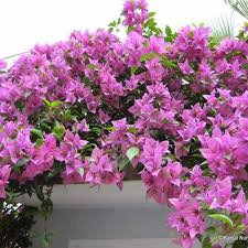bougainvillea plants at rs 12 ornamental and medicinal