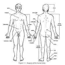 Human Figure Anatomy Human Anatomy Diagram The Best Resource Learning Human Anatomy