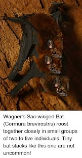 Bat Meme - wagner s sac winged bat cormura brevirostris roost together closely