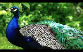 peacock one of the most beautiful birds youtube coloring