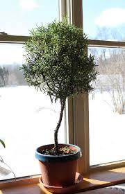 Rosemary Topiary How To Turn A Rosemary Bush Into A Tree Times Free Press
