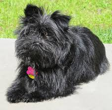 affenpinscher animal planet best 50 small dog breeds for apartments platpets training