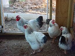 6 plus columbian wyandotte hatching egg u0027s