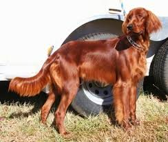 types of setter dog breeds irish setter dog breed information and pictures