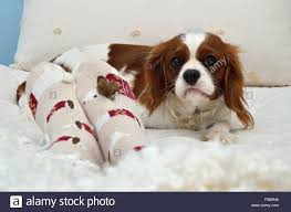 beautiful cavalier king charles spaniel and female foot in cozy