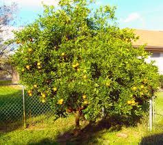 is this orange tree growing properly pics trees concrete