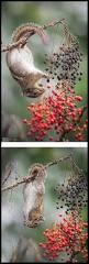 best 25 squirrel ideas on pinterest squirrels red squirrel and