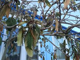 our loquat tree is dead kung fu farming