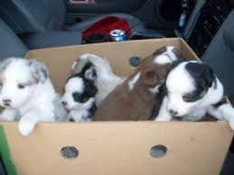 south carolina australian shepherd rescue miniature australian shepherd puppies in wisconsin