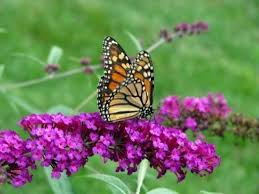 10 colorful and rich nectar flowers that attract butterflies to