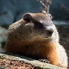 climate change groundhogs common species suffer