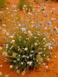 australian wildflowers u2013 xplore