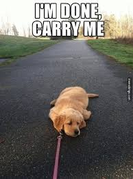 Tired Meme - puppy too tired to walk http mbinge co 1tvbsme the official