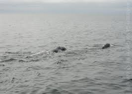 this year u0027s right whale moms so far center for ocean life