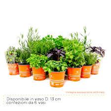 erba cipollina in vaso erba cipollina piante passione produzione piantine da orto