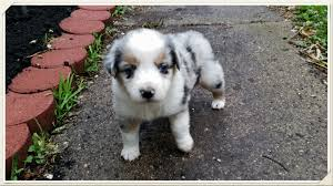 3 week old australian shepherd puppy mini aussies are great stonger miniature and standard aussies