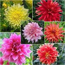 dahlia bulbs for sale buy flower bulbs in bulk save