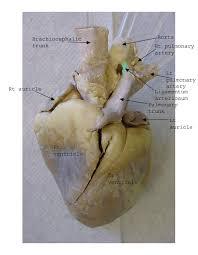 Sheep Heart Anatomy Quiz Human Anatomy Chart Page 114 Of 202 Pictures Of Human Anatomy Body