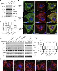 a ragulator u2013borc interaction controls lysosome positioning in
