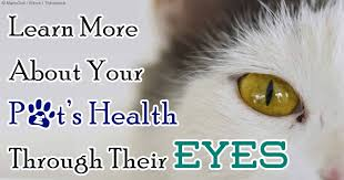 australian shepherd eye diseases ocular signs may signal serious type of disease