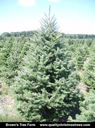 balsam fir christmas tree wholesale christmas trees