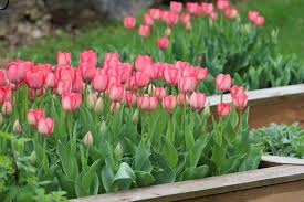 When To Plant Spring Vegetable Garden by Planting Your Vegetable Garden Make Room For Flower Bulbs
