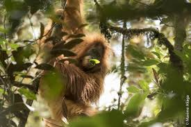 this newly discovered orangutan species could soon go extinct