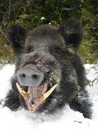 Arkansas wild animals images 297 best tapir and wild pigs images nature pigs jpg