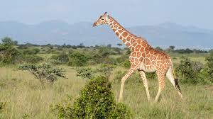 reticulated giraffe mpalalive
