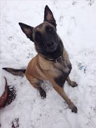 belgian malinois markings belgian malinois beautiful flowers too the belgian malinois