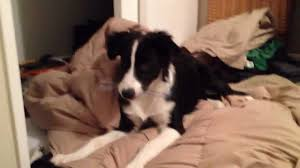 australian shepherd or border collie funny border collie australian shepherd mix playing youtube