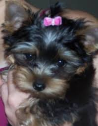 hair accessories for yorkie poos 30274604 jpg