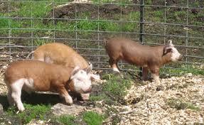 pigs schoonover farm blog