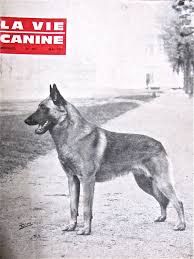 belgian shepherd health problems note to the american public belgian malinois look don u0027t touch