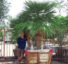 mediterranean fan palm tree b spec mediterranean fan palm