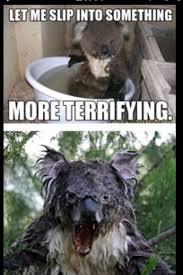 Koala Bear Meme - 90 best funny koala pics on coloringkidsnow download