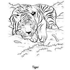 coloring page tigers 20 free printable tiger coloring pages online