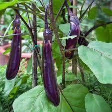 eggplant plant vegetable plants edible garden the home depot