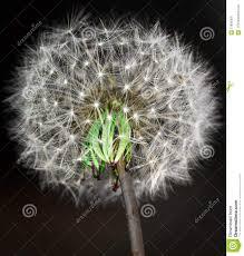 dandelion floral bloom sparkle gardening design image stock photo