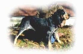 bluetick coonhound rabbit hunting bluetick coonhound natural history