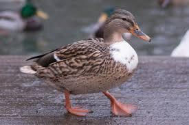 walking duck u2013 diary of dennis