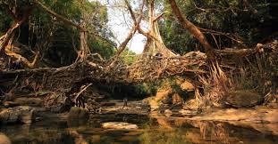 living root bridges of cherrapunji u2022 the mysterious india