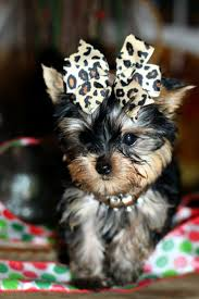 affenpinscher a vendre best 25 teacup puppies for sale ideas only on pinterest yorkie