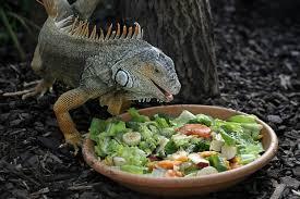 imágenes de iguanas verdes la dieta de la iguana verde iguana iguana infoexóticos