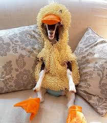 duck costume rescue goat with anxiety calmed by duck costume